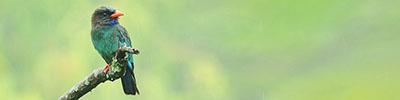 ブッポウソウ 2011.6.20 大洲市肱川町 撮影:瀧野隆志